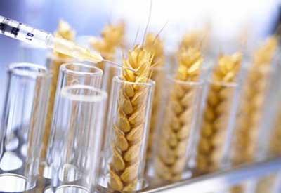 gmo-wheat1.jpg
